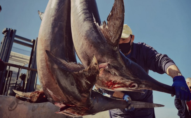 <span style='color:#780948'>ARCHIVED</span> - Tuna and swordfish season under way along the Mediterranean coast of Murcia
