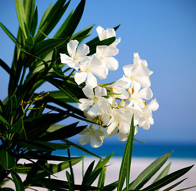 Oleanders, how to propagate and important information about the dangers of pruning them