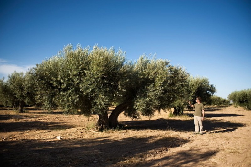 Jumilla wine route, Casa Pareja Organic Extra Virgen Olive Oil producer